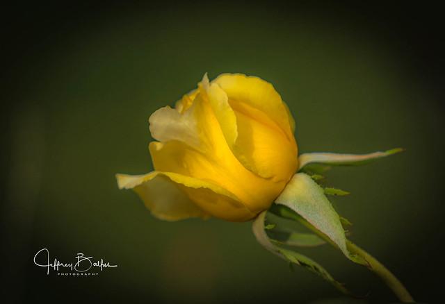 Budding Yellow Rose