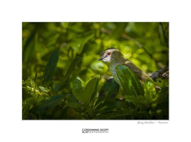 Grey Warbler - Riririro