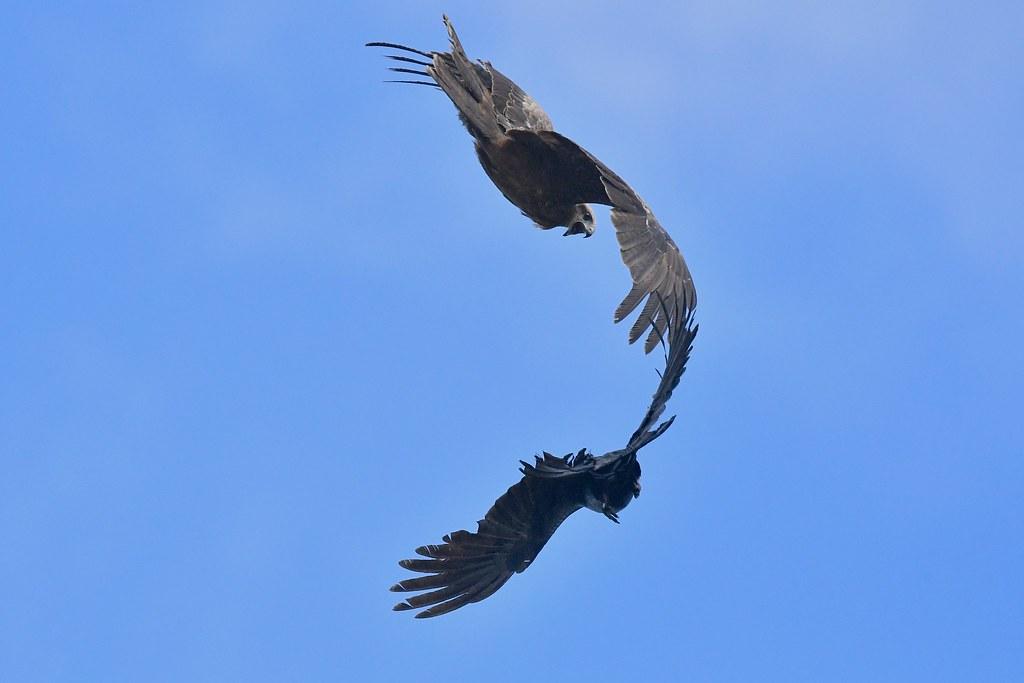 Black Kites ( At play time )