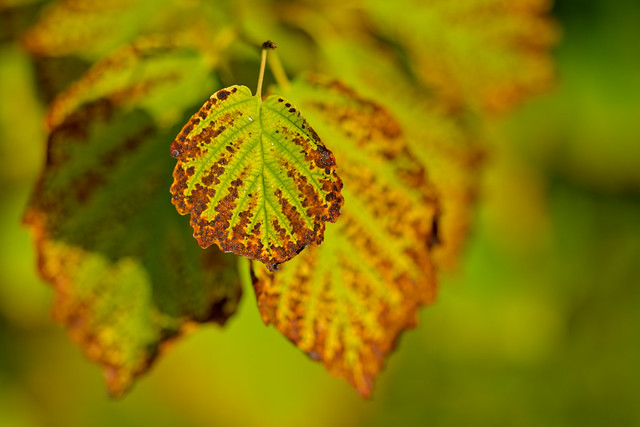 Leaves of a Witch Hazel