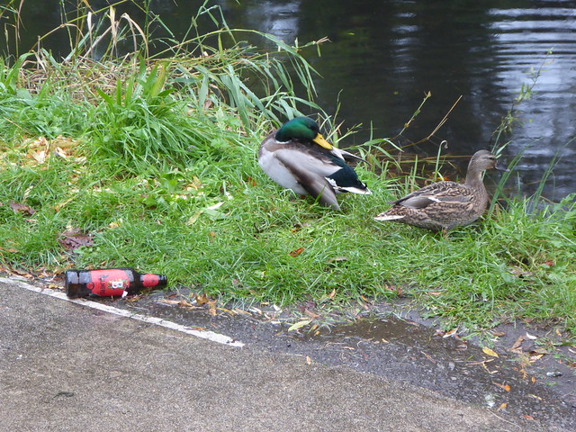 Mallards, Monmouthshire-Brecon Canal, Star Street, Old Cwmbran 24 October 2021
