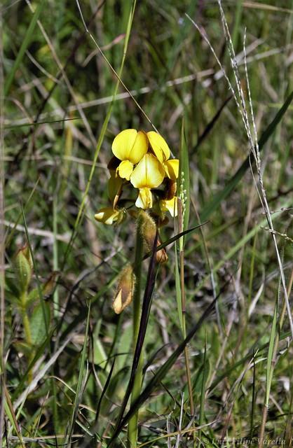 Crotalaria sp.