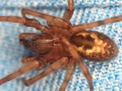 Welche ziemlich grou00dfe Spinne ist das?