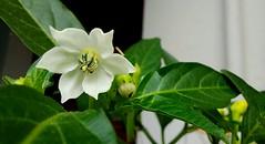 Fiore di peperoncino