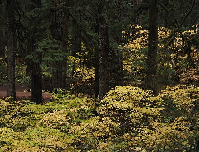Acer circinatum and Pseudotsuga menziesii group - Ohanapecosh River - 10_15_2021 jpg