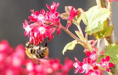 Biene auf einer roten Blu00fcte