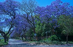 October in Jacaranda City