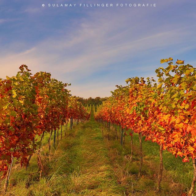 Herbstfarbenrausch in den Weinbergen