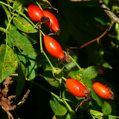 Hundsrose (Rosa canina s.l.)