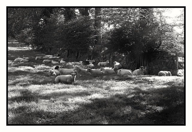 Resting flock Charlestown, Cornwall.