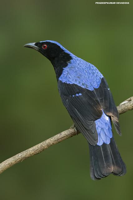 Asian Fairy-bluebird [male]
