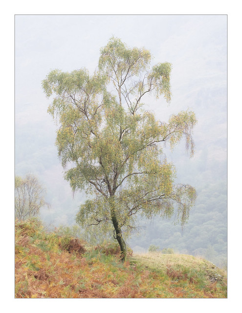 A Borrowdale Birch
