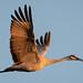 Sandhill Crane morning flight
