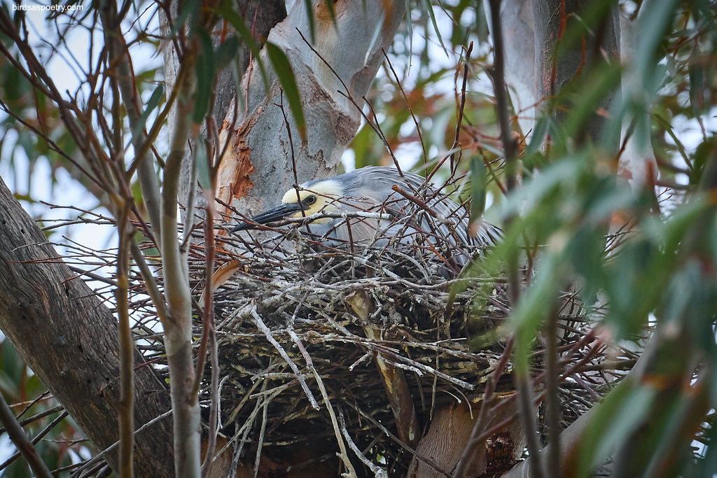 White-faced Heron: I see You, You see Me