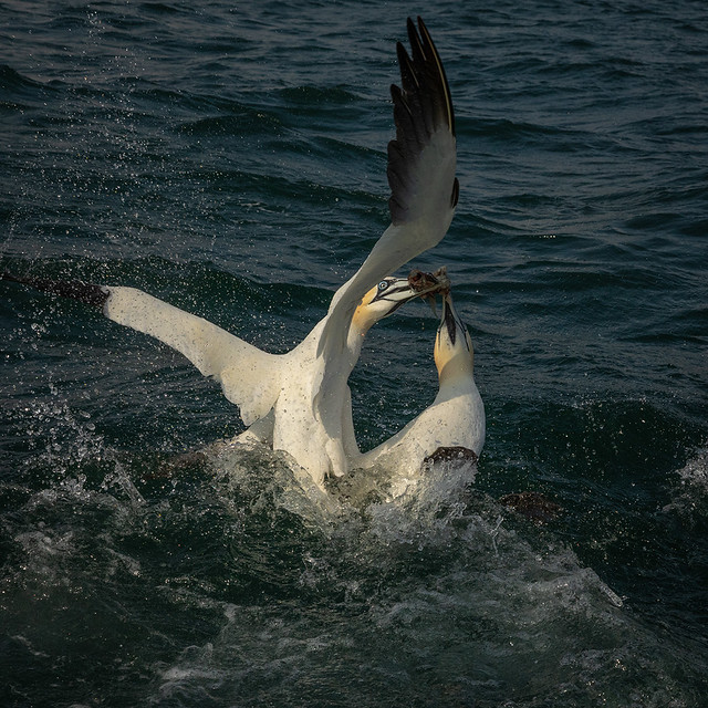 Gannets - shared fish supper!