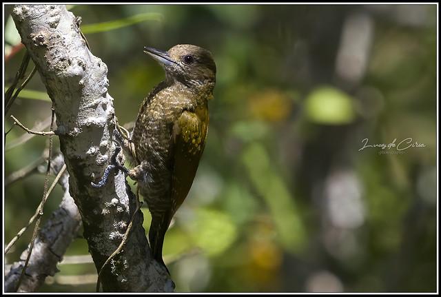 Carpintero Oliva Chico ♀, Little Woodpecker (Veniliornis passerinus)