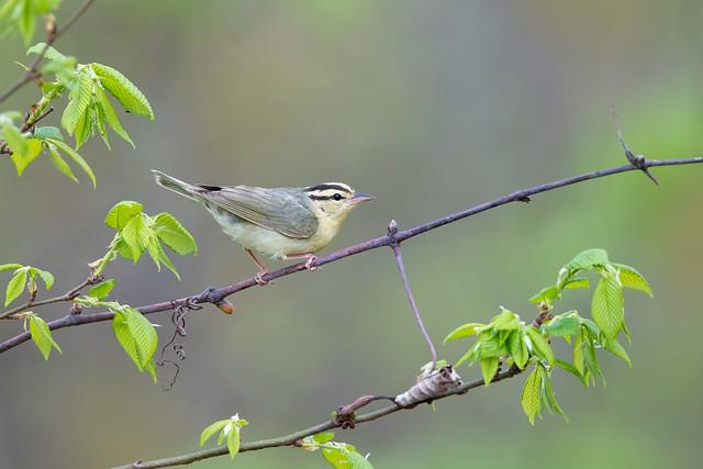 Worm-eating Warbler - Shawnee, OH