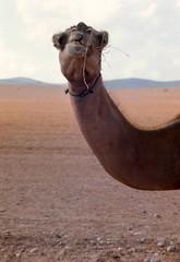 Israel, Nigeria Desert - Bedouin Camel