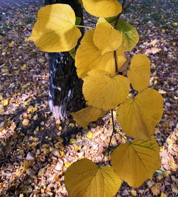 Autunno a Villa Paganini: foglie di tiglio