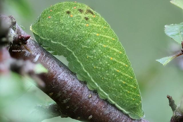 Iphiclides podalirius caterpillar; Scarce Swallowtail, green stage,  field-focus stack