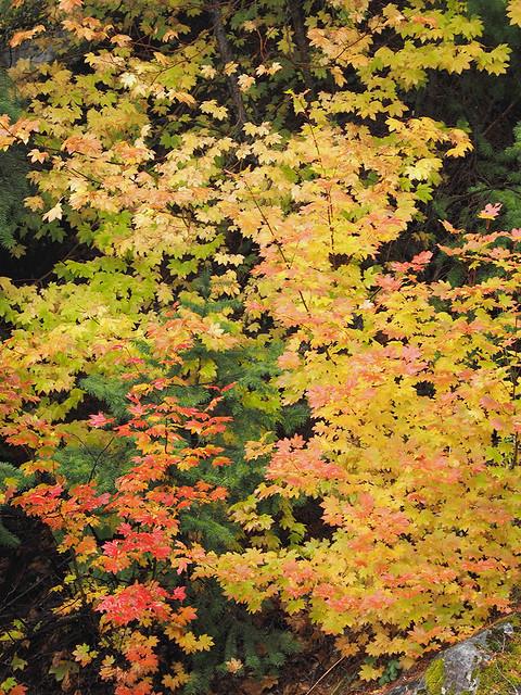 Acer circinatum -vine maple