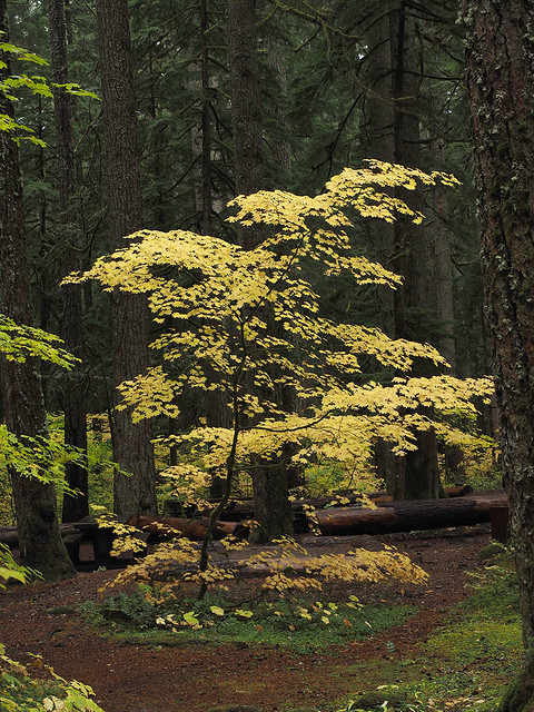 Acer circinatum single tree - Ohanapecosh River - 10_15_2021 jpg