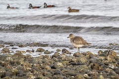 Black-bellied Plover and friends