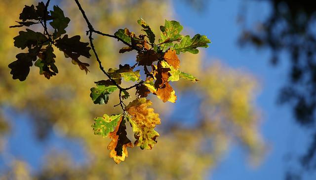 Autumnal OakShine