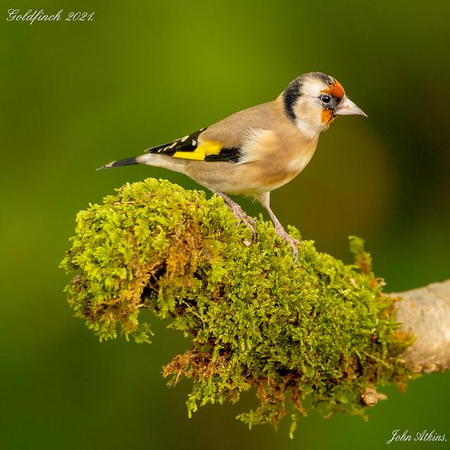 Goldfinch 23/10/21.