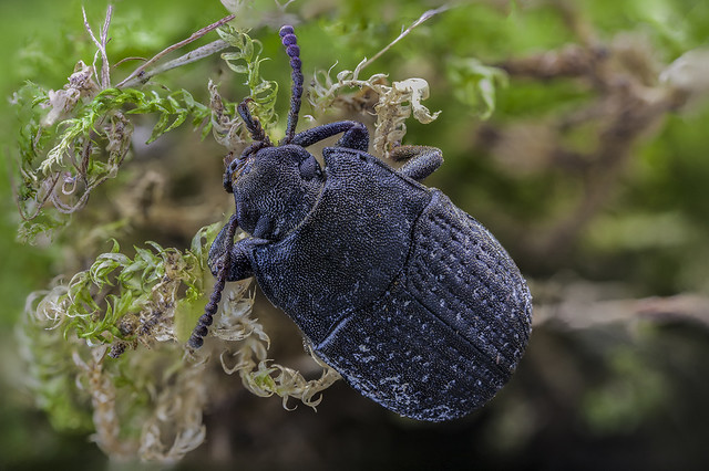 Hermit Flower Beetle, Focus Stack 24 Pictures