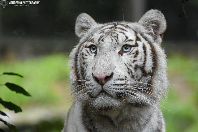 Bengal white tiger - Zoo Amneville