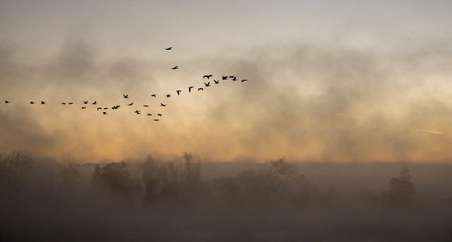 Migrating Cormorants