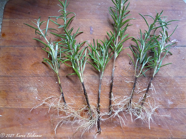 20 October 2021 Time to pot up the rosemary cuttings