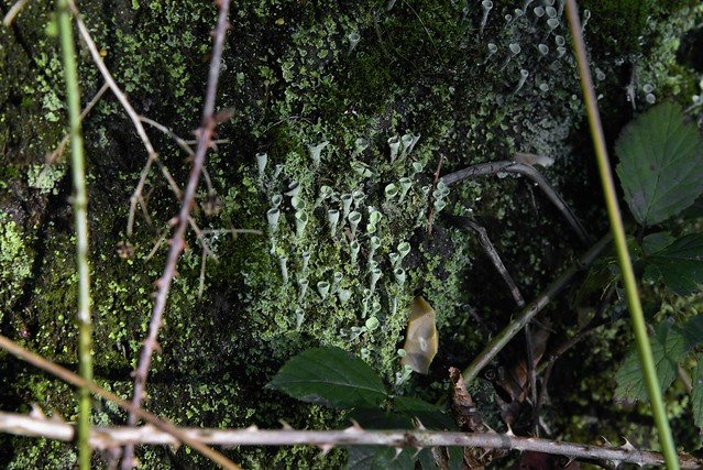 Am Lehmsieker Wald - Podetien derTrompetenflechte (Cladonia fimbriata); Schwabstedt, Nordfriesland (26a) (1)