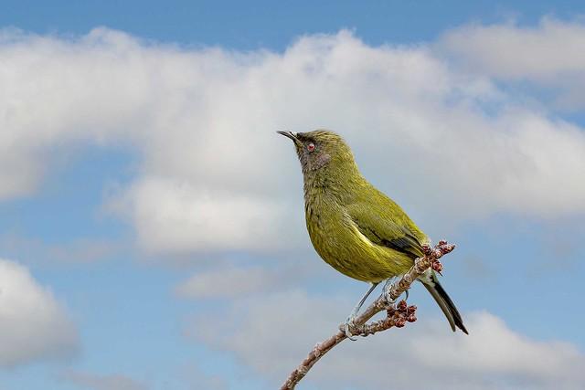 New  Zealand native Bellbird_IMG 2609