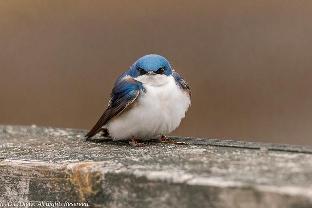 Barn Swallow #1 - 2020-04-26
