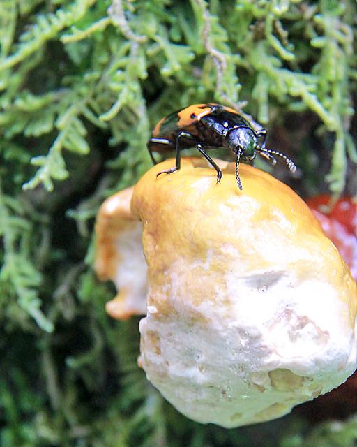 Beetle and fungus - HMM!
