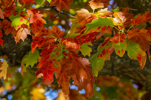 American Oak Tree showing us its best Autumn colors, Juan Carlos I Park, Madrid, Spain