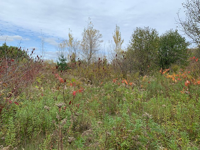 Staghorn Sumac trees , weeds , shrubs and many trees on this beautiful day with a view from Duffins trail with a blue sky and a great cloud cover this autumn in Discovery Bay , Martin's photographs , Ajax , Ontario , Canada , October 23. 2021