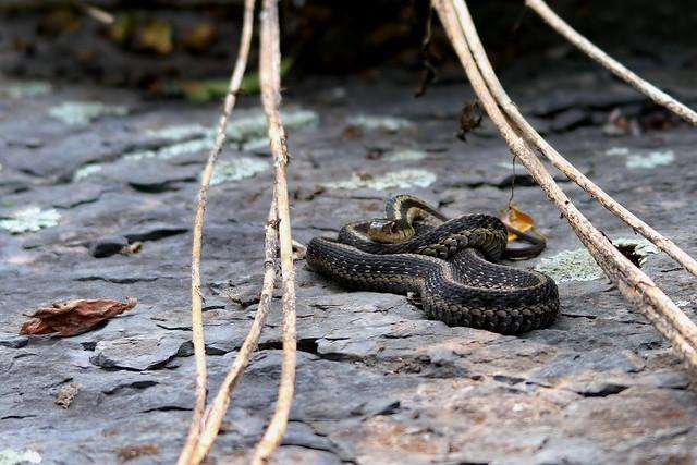 Snake - Taughannock Falls State Park, New York State, USA (2014)