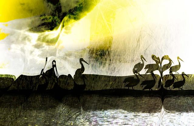 Pelicans on parade