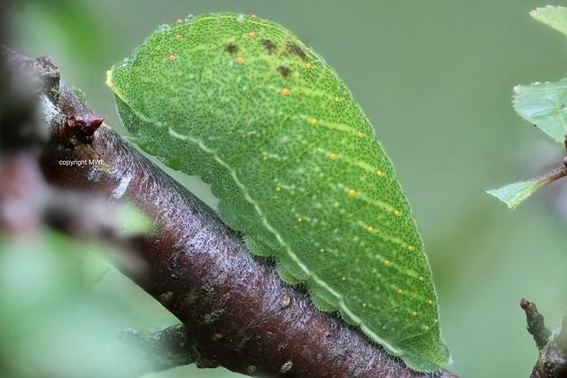 Iphiclides podalirius caterpillar; Scarce Swallowtail, green stage with rain-drops