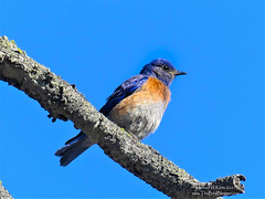 Western Bluebird - Mount Kruger, BC