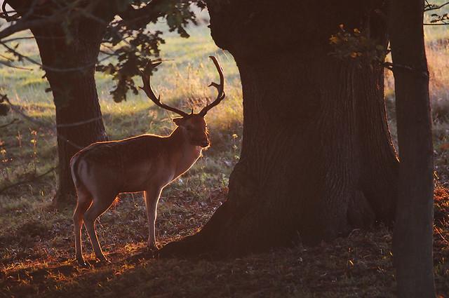 Autumnal Buck