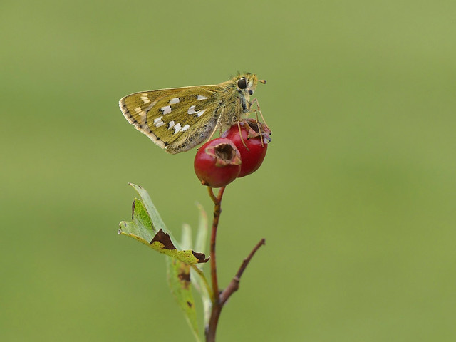 Female Silver Spotted Skipper, on Hawthorn. No Cropping.
