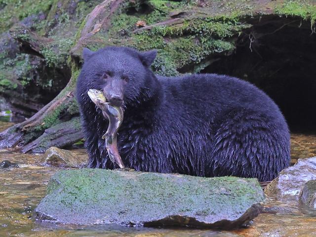 Blak Bear with Salmon