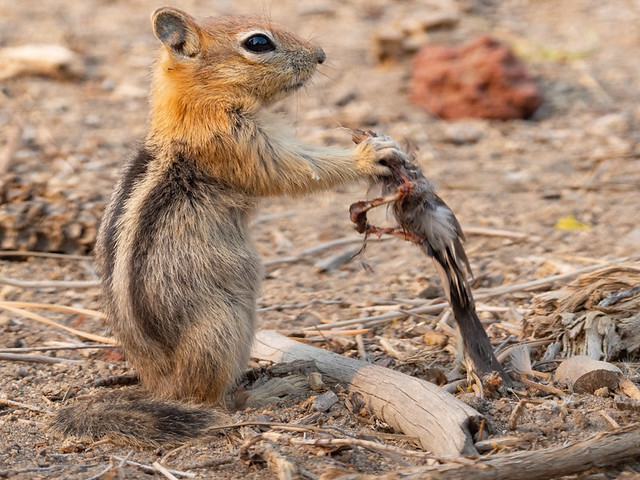 Golden-mantled Ground Squirrel Eating A Red Crossbill