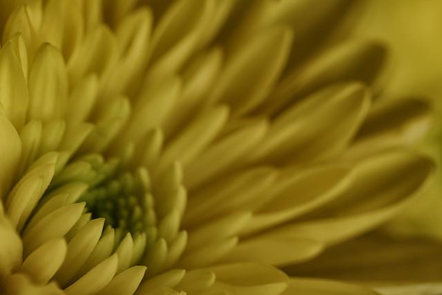 Yellow Chrysanthemum 2021-10-25 (R5_99A1996)