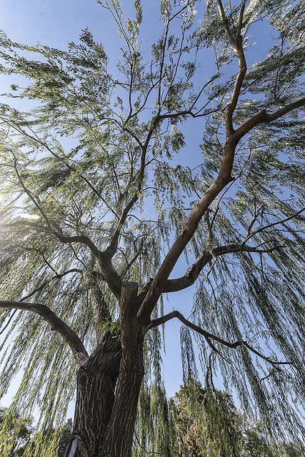 salice piangente   (Salix babylonica L.)