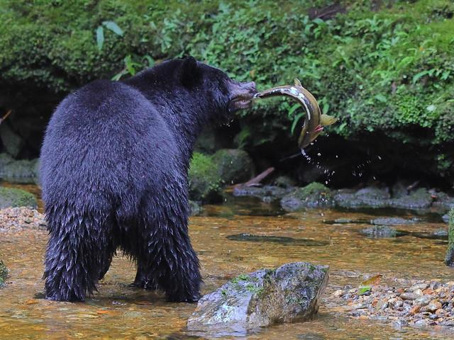 Balck Bear With Salmon
